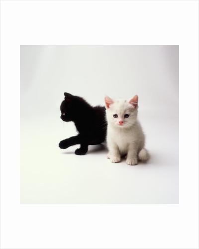 Black Kitten and White Kitten by Corbis