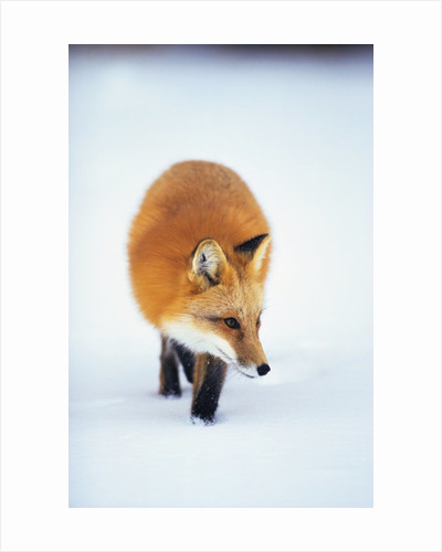 Red Fox in Snow by Corbis