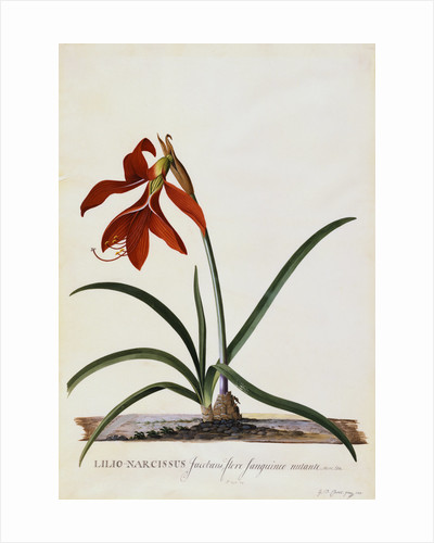 Jacobean Lily by Georg Dionysius Ehret