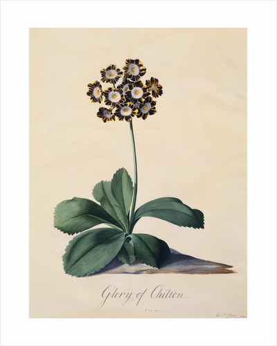 Botanical Print of Glory of Chilton by Johann Wilhelm Weinmann