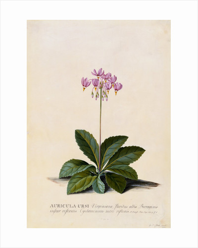 Botanical Print of Shooting Star by Johann Wilhelm Weinmann