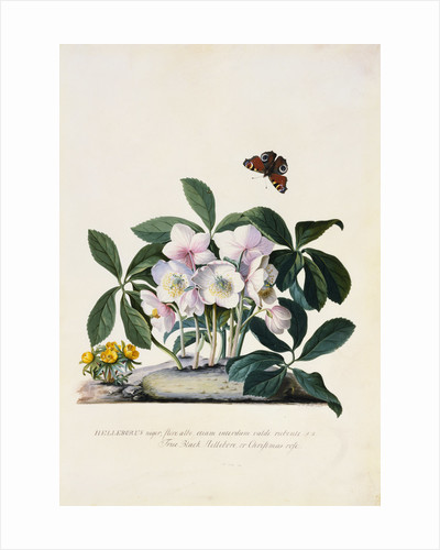 Christmas Rose and Winter Aconite by Johann Wilhelm Weinmann