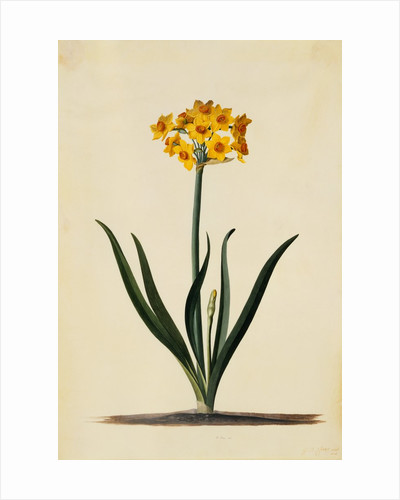 Botanical Print of Narcissus by Johann Wilhelm Weinmann