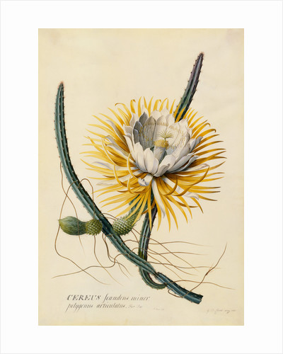 Botanical Print of Queen of the Night by Johann Wilhelm Weinmann