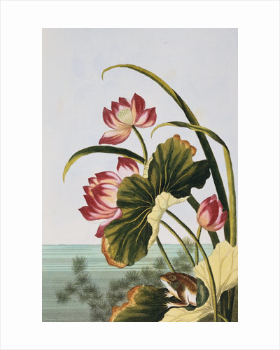 18th Century French Print of Red Water Lily of China by Corbis
