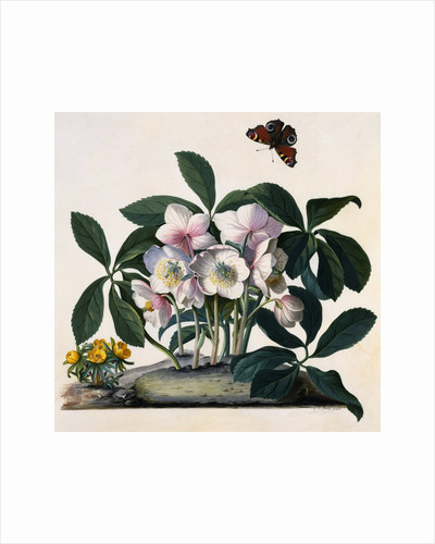 Helleborus Niger Rose and Butterfly Lithograph by Georg Dionysius Ehret