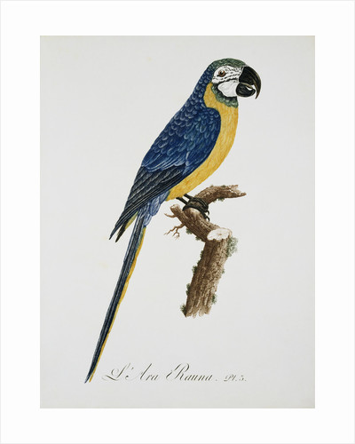 Blue and Gold Macaw by Jacques Barraband