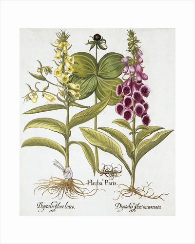 Herb Paris, Common Foxglove and Large Yellow Foxglove by Basil Besler