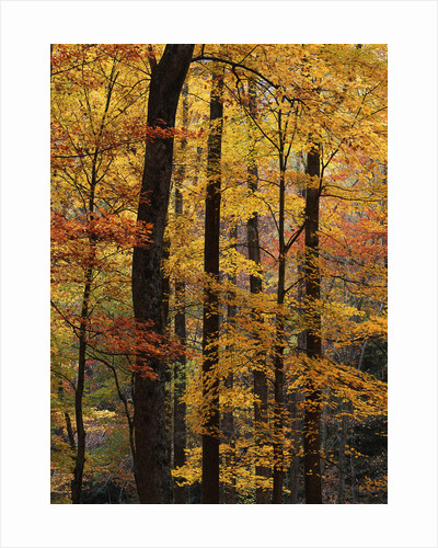 Deciduous Forest in Autumn by Corbis