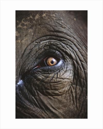 Indian Elephant's Eye by Corbis