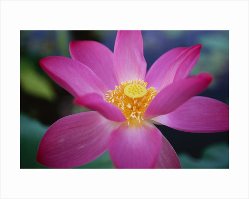 Red Lotus Lily Flower by Corbis