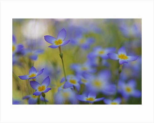 Bluets Close-Up by Corbis