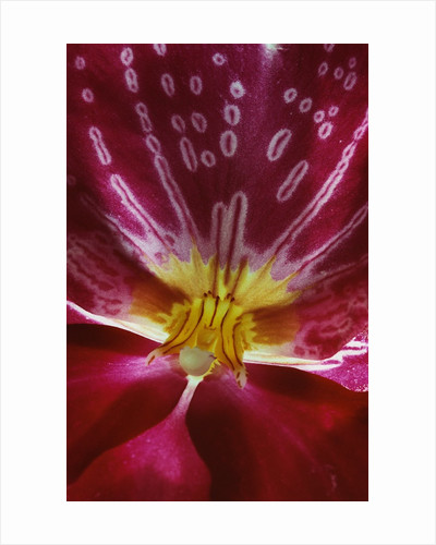 Close-up of an Orchid by Corbis