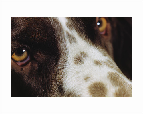 Close-up of Dog by Corbis