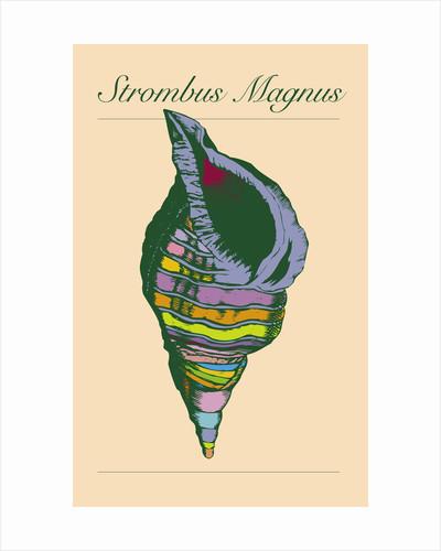 Strombus Magnus by Steve Collier