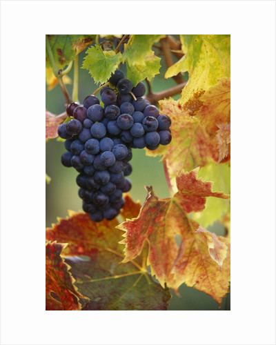 Grapes on a Vine by Corbis