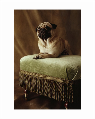 Pug Sitting on Stool by Corbis