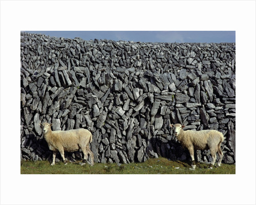 Hobbled Sheep by a Dry Stone Wall by Corbis