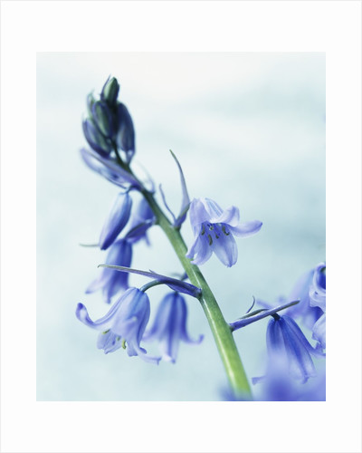 Blue Bells by Corbis