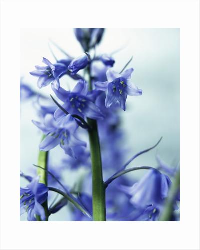 Blue Bells by Corbis