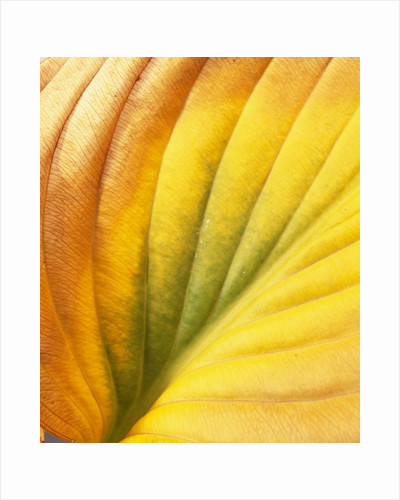Hostas, also known as Plantain Lily and Funkia by David Roseburg