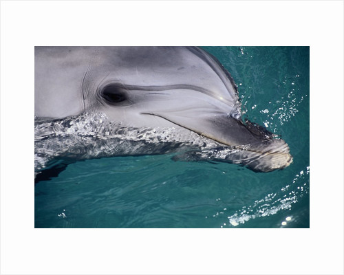Close-Up of Dolphin by Corbis