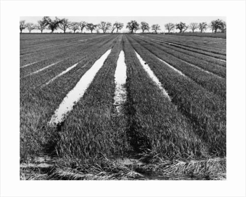 Rice Field by Gordon Osmundson