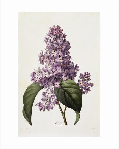 Lilacs by Pierre Joseph Redoute