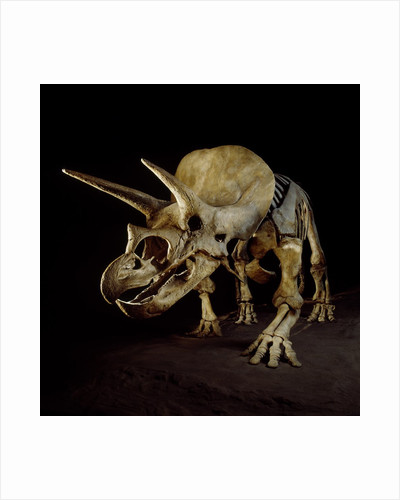 Triceratops Skeleton by Corbis