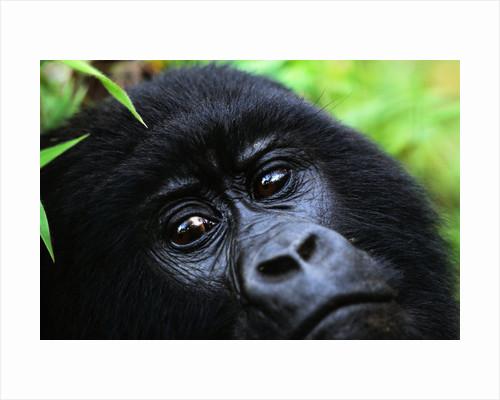 Female Mountain Gorilla by Corbis