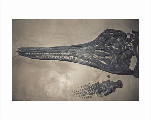Head of a Jurassic Icthyosaur Fossil by Corbis