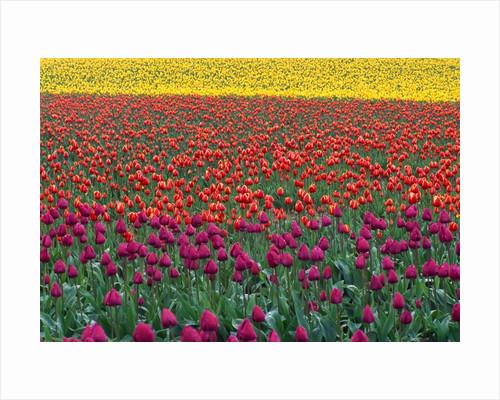 Colorful Tulip Field by Corbis