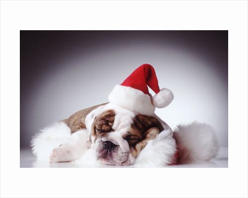 Bulldog Wearing Santa Hat by Corbis