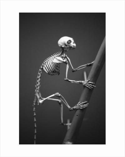 Primate Skeleton on Display by Corbis