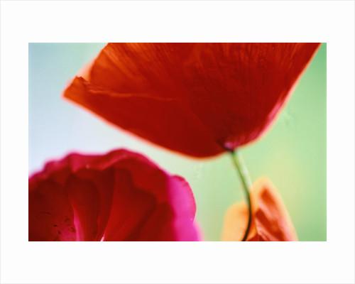 Ladybird Poppies in Bloom by Corbis