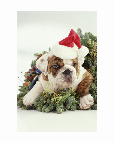 Bulldog Wearing Santa Claus Hat by Corbis