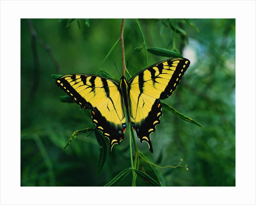 Tiger Swallowtail Butterfly by Corbis