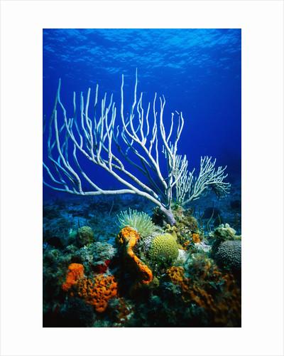 Corals, Sponges, Sea Anemones, and Sea Fans by Corbis