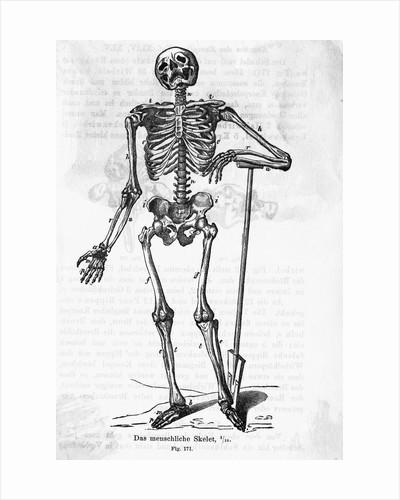 Human Body Skeleton by Corbis