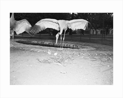 Crane Stretching Wings Above Baby Crane by Corbis