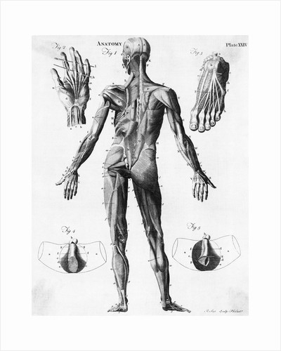 Anatomical Illus. Of Human Muscles by Corbis