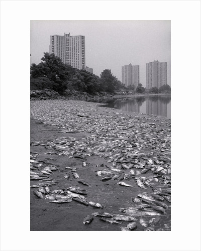 Dead Fish Covering Hutchinson Riverbank by Corbis