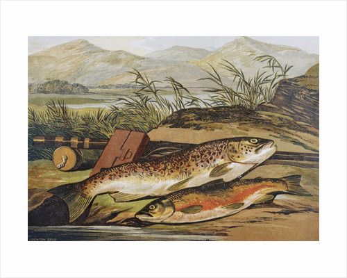 Illustration of Fishing Tackle with a Trout and a Charr by Corbis