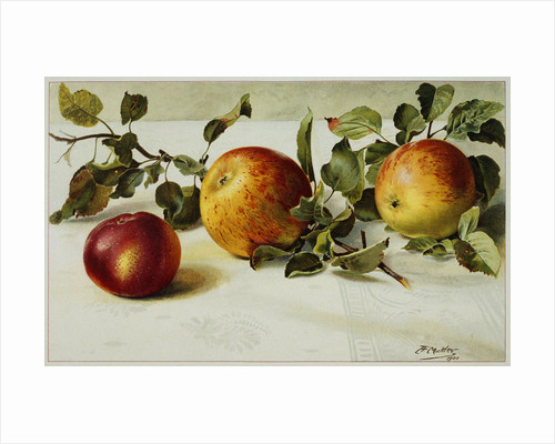 Book Illustration of Apples by Fairfax Muckler