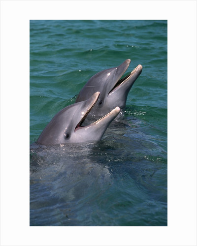 Bottlenose Dolphins Calling from the Water by Corbis