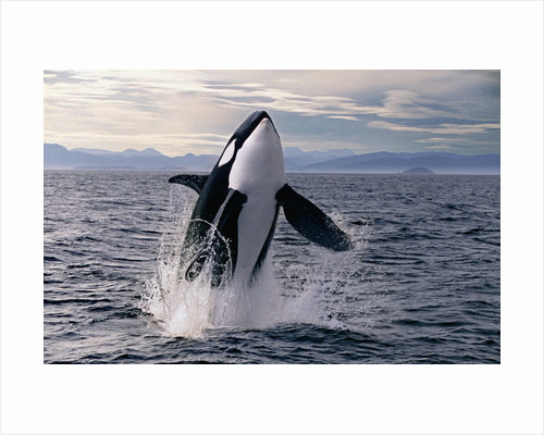 Breaching Killer Whale (digital composite) by Corbis
