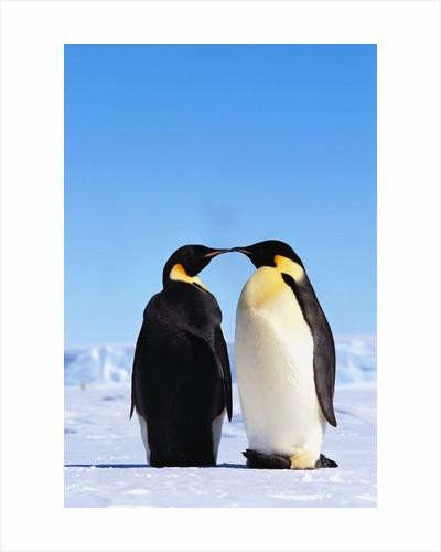 Emperor Penguins Greeting by Corbis