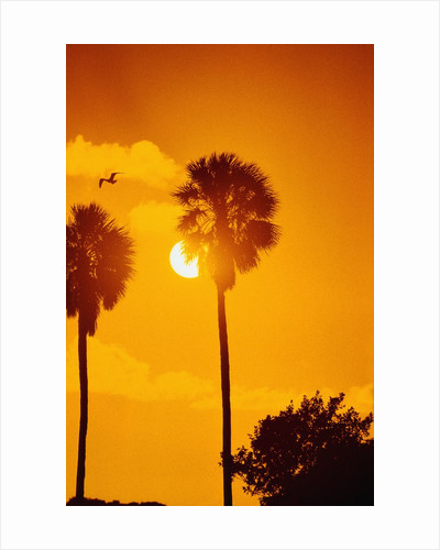 Silhouetted Palms in the Florida Everglades by Corbis