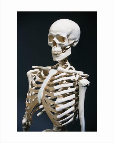 Human Skeleton by Corbis