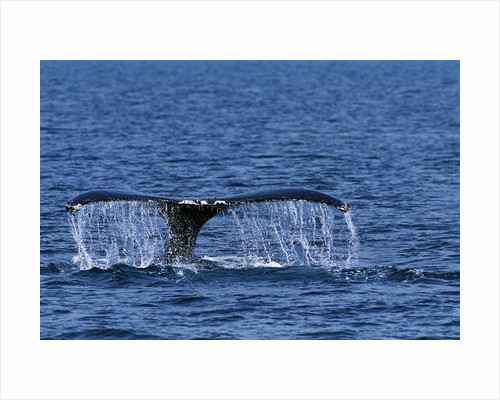 Tail of Humpback Whale by Corbis